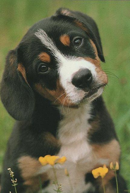 Entlebucher Sennenhund by Päivi Reijonen, via Flickr