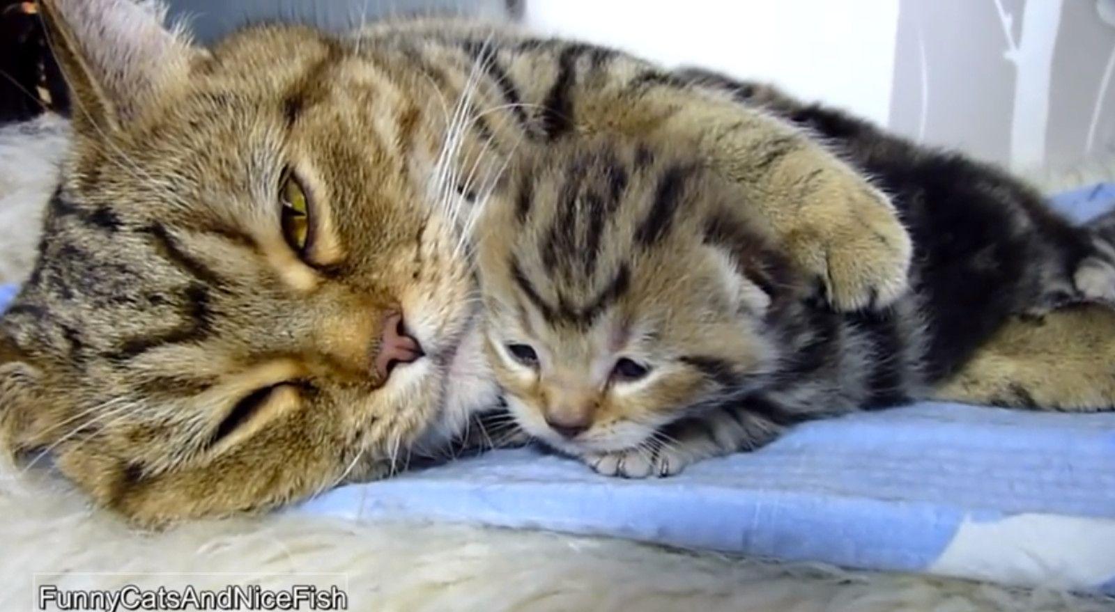 Mother Cat Hugging Kitten Will Warm Your Heart Video Mama Cat Kittens Cutest Cat Hug