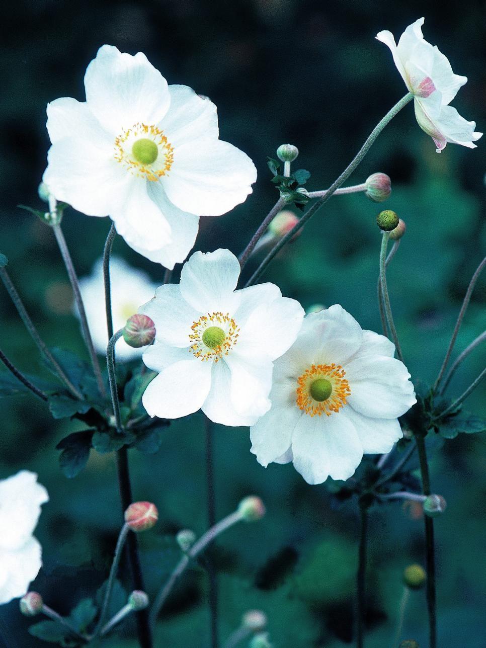 Perennial Flowers For Shade Gardens Flowers Perennials Shade Flowers Shade Plants
