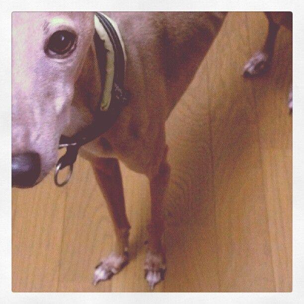 Rhyo* italian greyhound