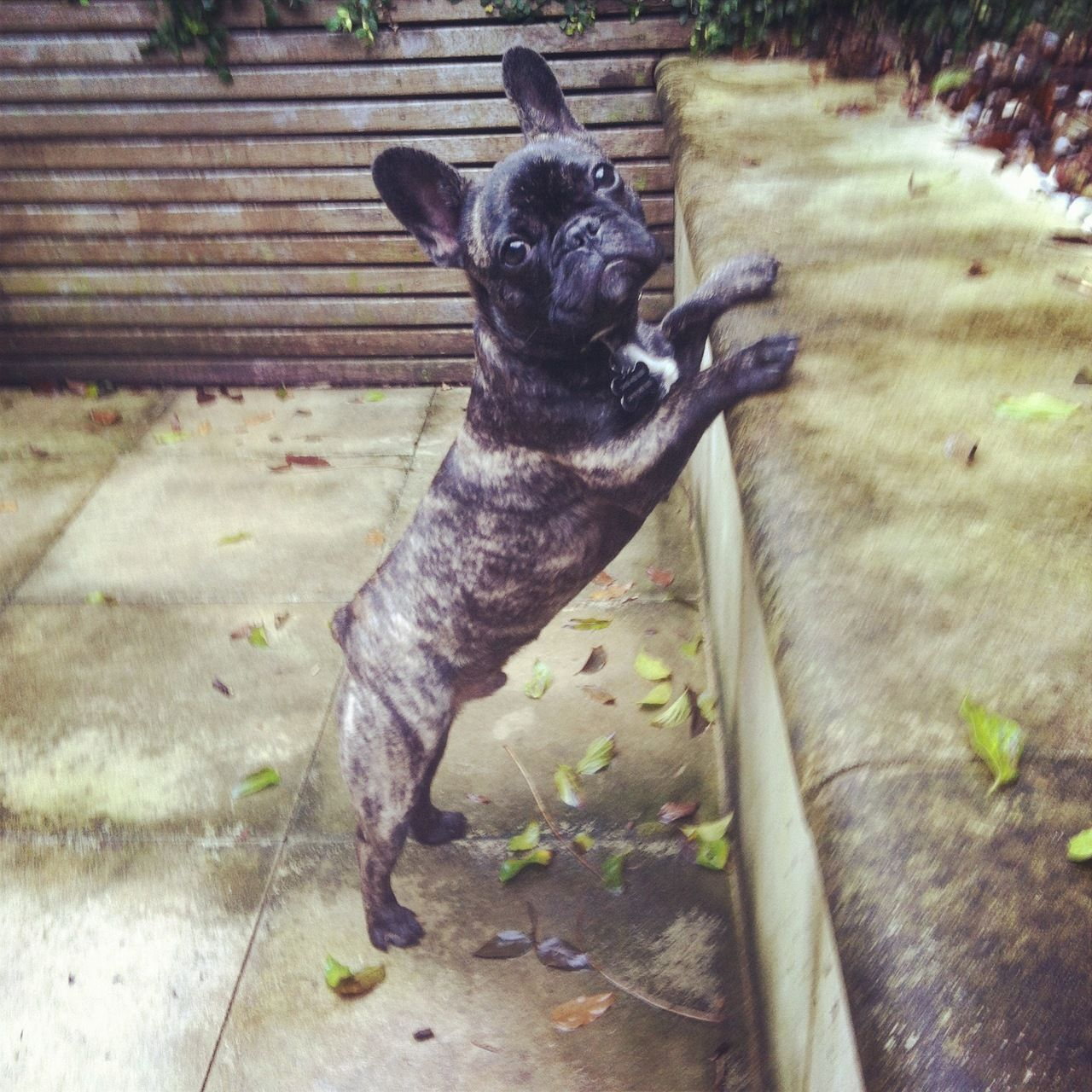 I can reach! Frenchie, Puppies