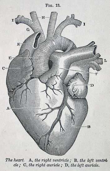 Untitled Heart Illustration Human Heart And Anatomy