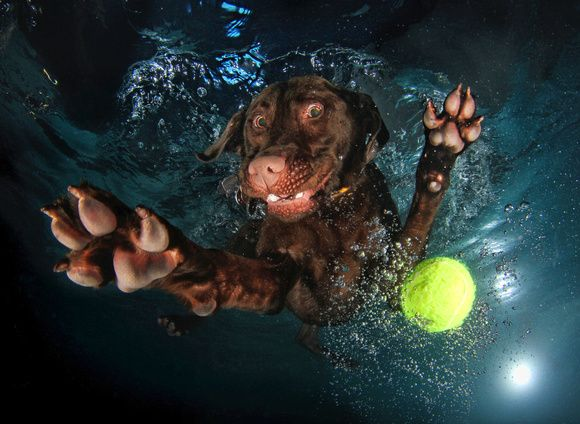 Chocolate Lab Prints | Home » All Photographs » Underwater Dogs by Seth Casteel