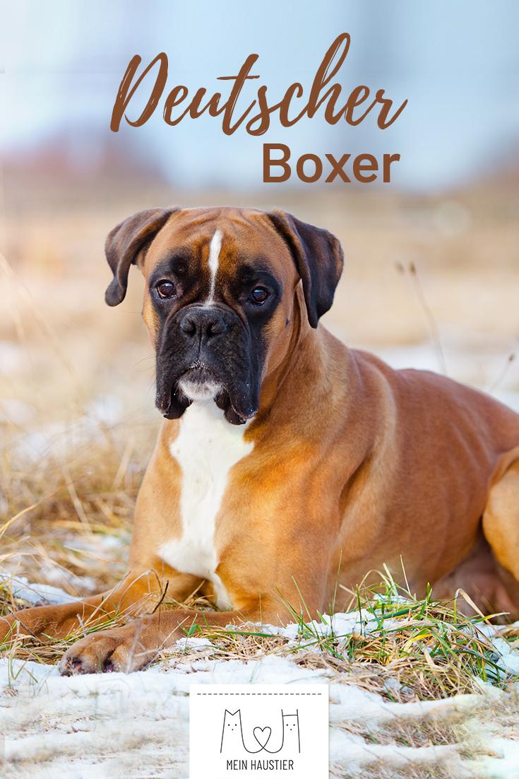 Der Deutsche Boxer Ist Ein Verspielter Und Lieber Hund Der In