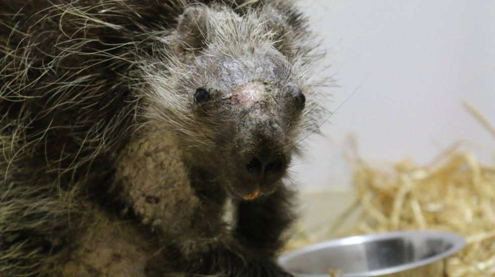 how to sedate a dog to remove porcupine quills