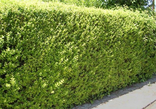 Cerco Vivo Ligustrina Cerco Vivo Pinterest Plantas Cercos Y - Arbustos-para-vallas