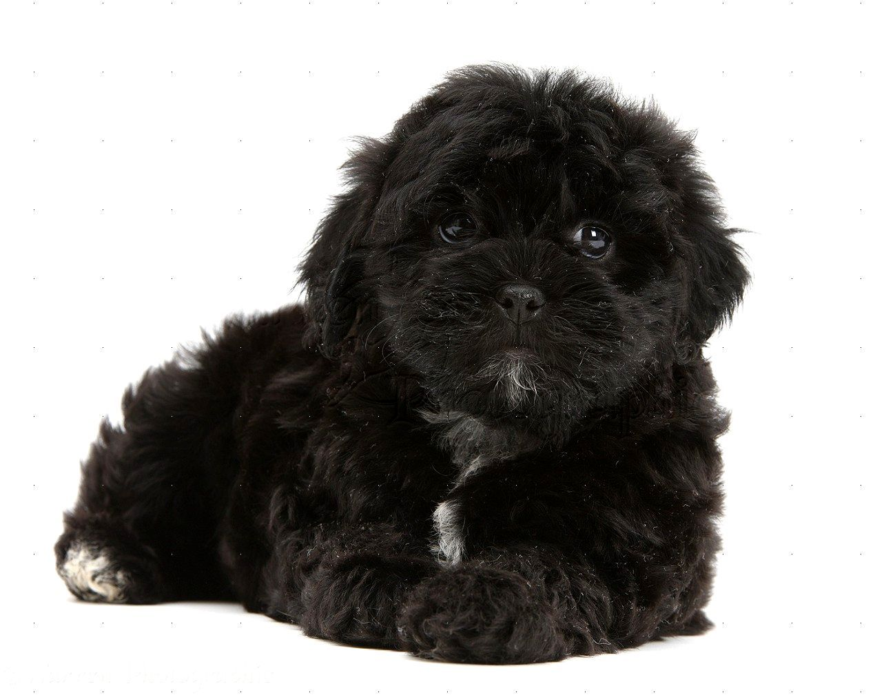 Shitzhu Maltese Mix Shih Tzu Shih Tzu Poodle Black Shih Tzu