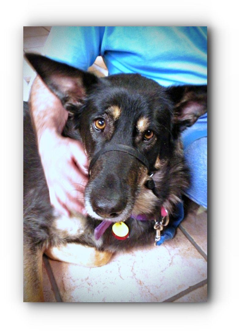 Best German Shepherd Rescue Near Me Shepherd Rescue German