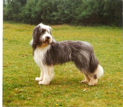Brambledale Bearded Collies True Beardie Type Bearded Collie