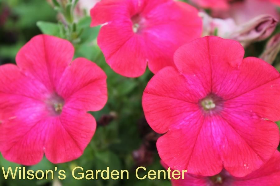 Petunia Good And Plenty Pomegranate This Variety Of Petunia Has A Neat Growing Habit It Tends To Produce A Ball Shaped Form Petunia Plant Plants Petunias