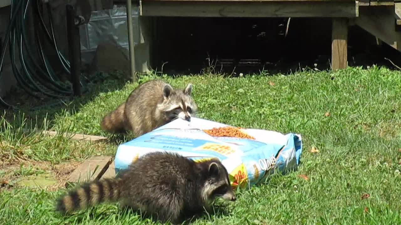 Sneaky raccoon hauls off 28 pound bag of cat food Silly