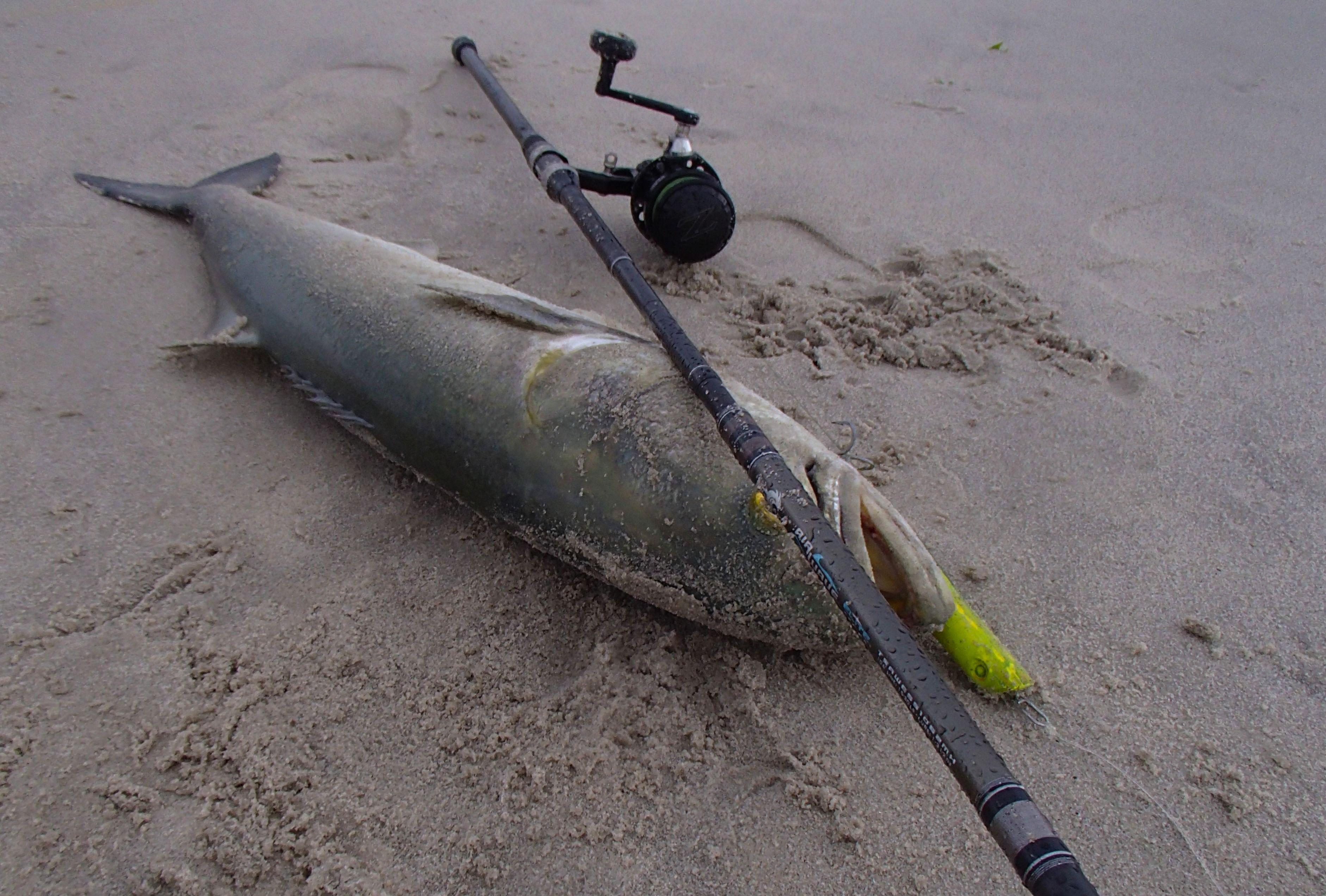 Bluefish On A Tsunami Airwave Elite Spin Fishing Rod 2 Pc 10 6 15 30 Lb Tsawess 1062mh Fish Bluefish Fishing Rod