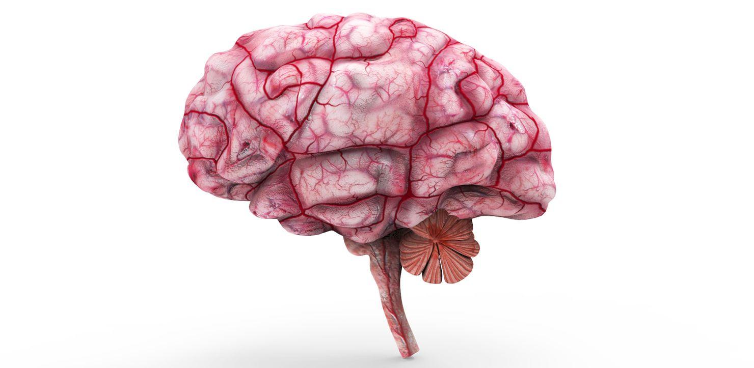Brain Anatomy 3d Model 3d Anatomy Pinterest Anatomy Brain