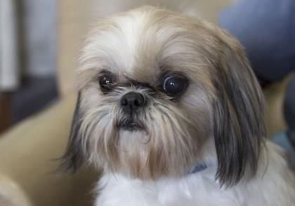 Meet Rose A 6 Years 9 Months Shih Tzu Available For Adoption In Colorado Springs Co Puppy Adoption Shih Tzu Dogs