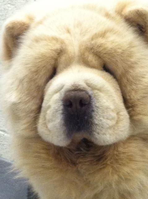 Adopt Sunshine On Chow Chow Dogs Dogs Chow Chow