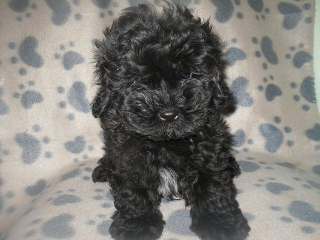 Beautiful Shihtzu Cross Miniature Poodle Puppies For Sale