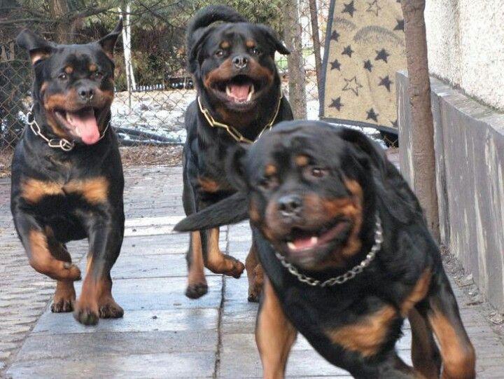 Rottweilers Dogs Rottweiler Rottweiler Dog