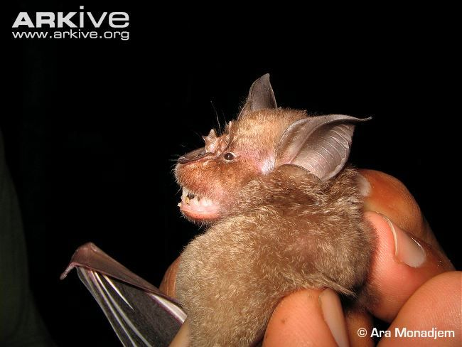 Upland horseshoe bat, side view, like all members of its family, is named for its distinctive horseshoe-shaped noseleaf.