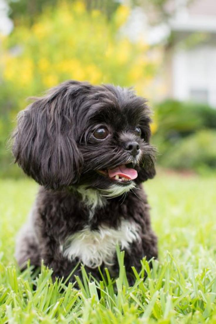 Adorable Miniature Shih Tzu Puppy Dog White And Black With Short Fur Shihtzu Shih Tzu Puppy Miniature Shih Tzu Shih Tzu