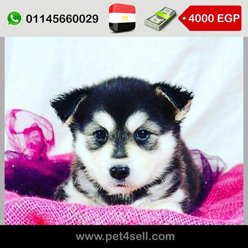 Egypt Cairo Siberian Husky Puppies For Sale With A Good Price 60 Days 45 Days In Pic D O B 21 7 2016 Males And Females Available Dogs Animals Husky