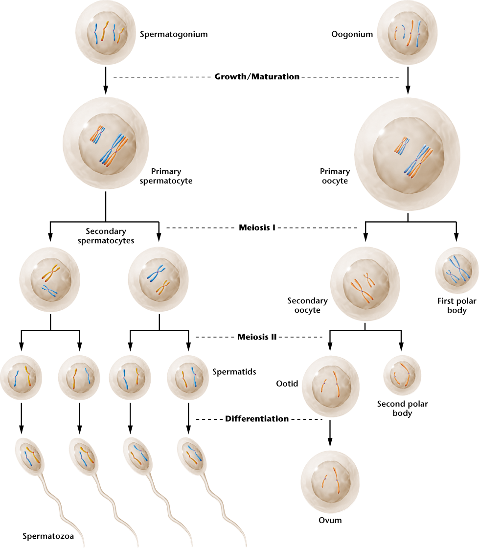 25 the development of gametes varies in spermatogenesis compared 25 the development of gametes varies in spermatogenesis compared to oogenesis ccuart Images