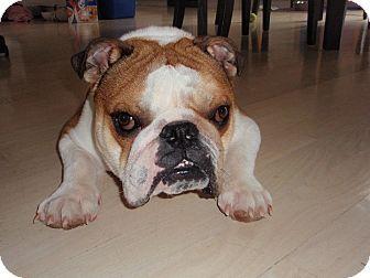 Park Ridge, IL - English Bulldog. Meet Feldman, a dog for adoption. http://www.adoptapet.com/pet/12401373-park-ridge-illinois-english-bulldog