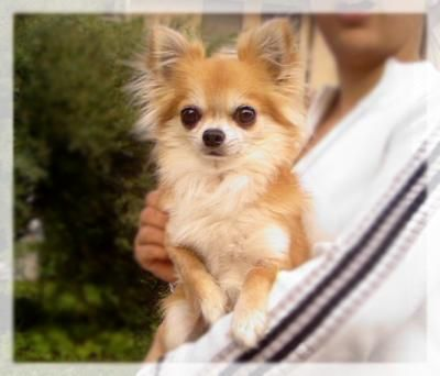 long haired chihuahua.....so cute Bucket List