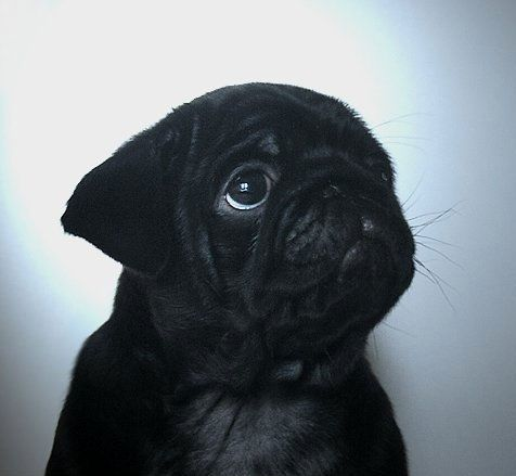 Cute Black Pug Puppy Cute Pugs Black Pug Puppies Pug Puppies