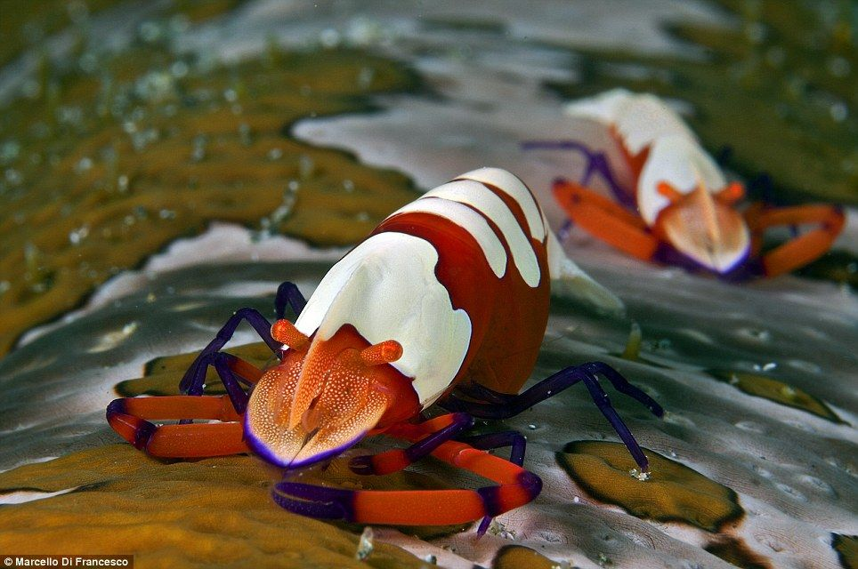 3rd Place Macro | Marcello Di Francesco for his orange, white and purple emperor shrimp, acutely magnified in Ambon, Indonesia