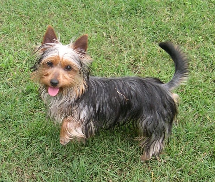 The Silky Terrier Dog Breed Exemplifies The Expression Small Dog