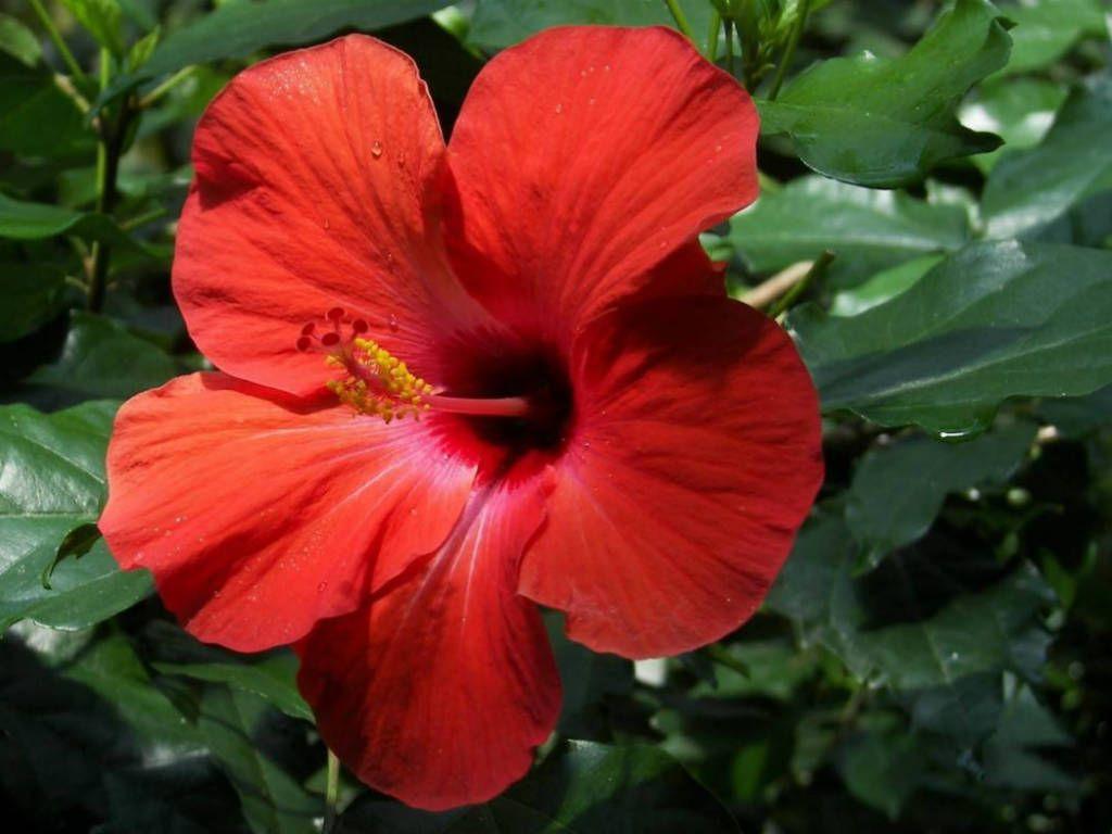 Hibiscus rosasinensis (Chinese Hibiscus, China Rose