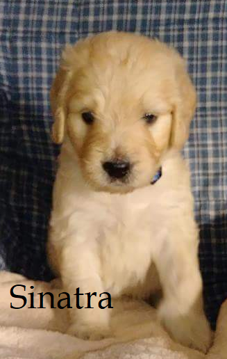 Litter of 9 Goldendoodle puppies for sale in LOCUST GROVE