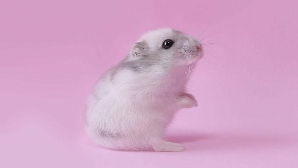 Amazing White Mouse Hamster Wallpaper Pet Mice Pet Birds