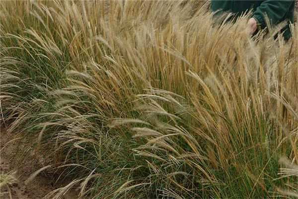 Miscanthus Starlight A Further Selection Of Yakushima Dwarf Seedlings 32 39 Prolific Flowers I Don T Know If It S Available In The Us Market