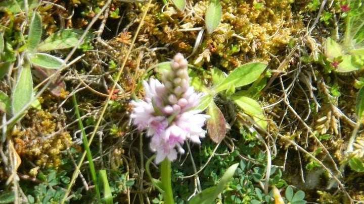 Wild Orchid in The Burren Galway, Ireland