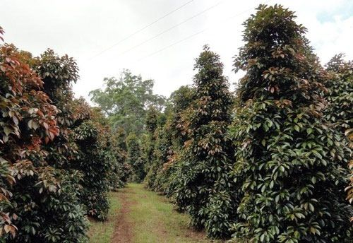 elaeocarpus eumundi  eumundi quandong  screening hedge to rear yard side boundary