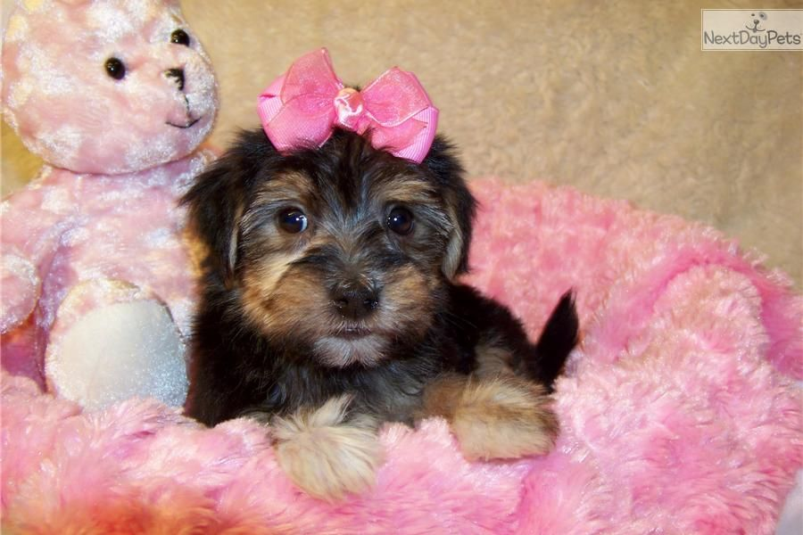 Meet Lacey A Cute Yorkiepoo Yorkie Poo Puppy For Sale For 699 Lacey Sweet Yorkie Poo Yorkie Poo Yorkie Poo Puppies Yorkie