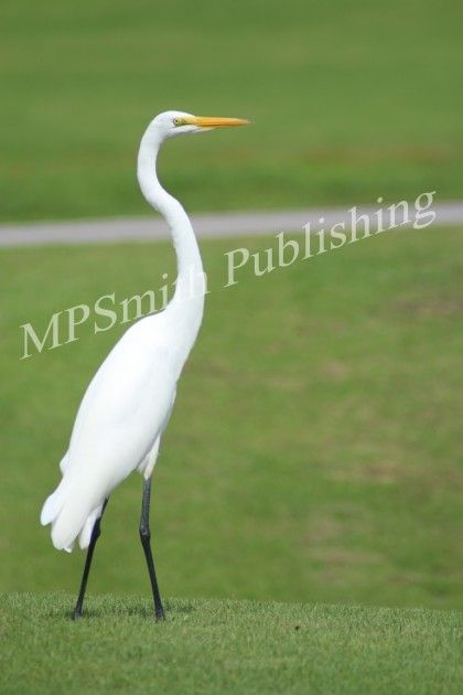 Great White Egret - https://melaniepsmith.com/downloads/great-white-egret/ - Great White Egret – Sarasota, Florida 2015  Purchased photo will not contain watermark. You are purchasing a standard license Click Here for license details.  You may use this image in accordance with the license agreement in such things as web blogs, magazines, book covers, web design, etc.   - https://melaniepsmith.com/wp-content/uploads/edd/2016/04/Great-Egret-420x630.jpg