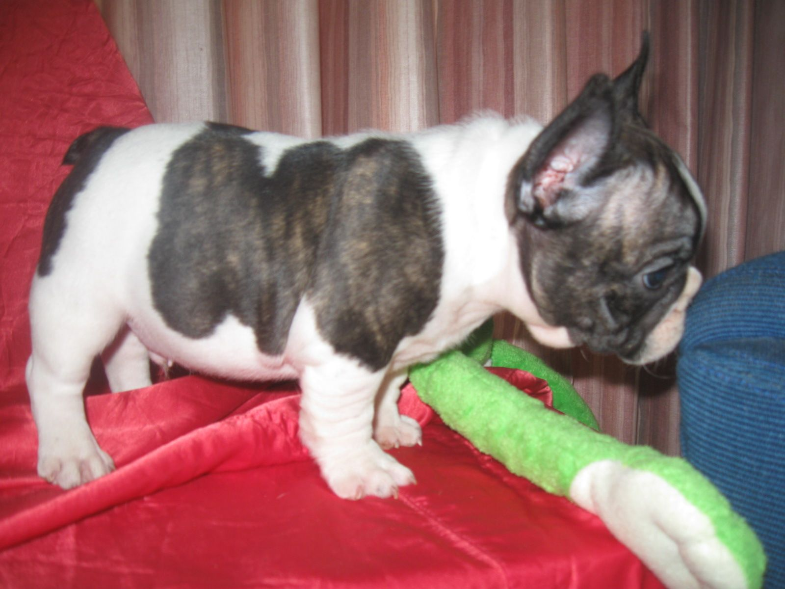 French Bulldog Puppies For Sale Oklahoma