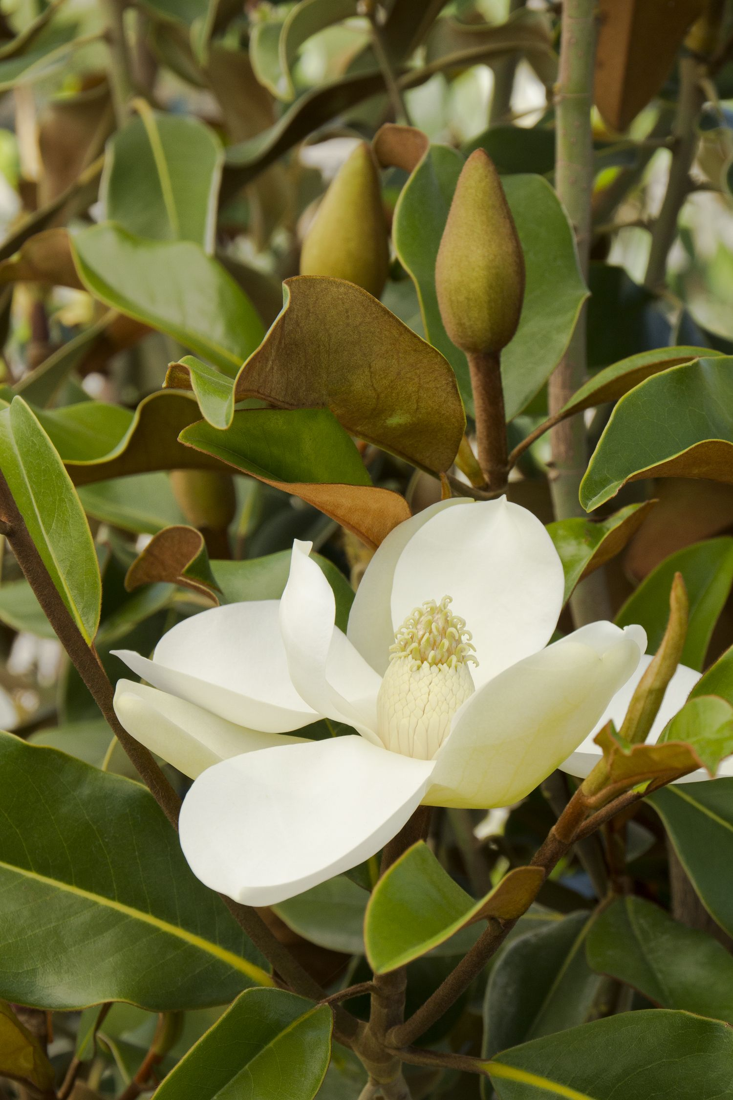 Bracken S Brown Beauty Magnolia Lustrous Leathery Foliage Is Rich Dark Green Above And Cinnamon Brow White Magnolia Tree Magnolia Grandiflora Magnolia Flower