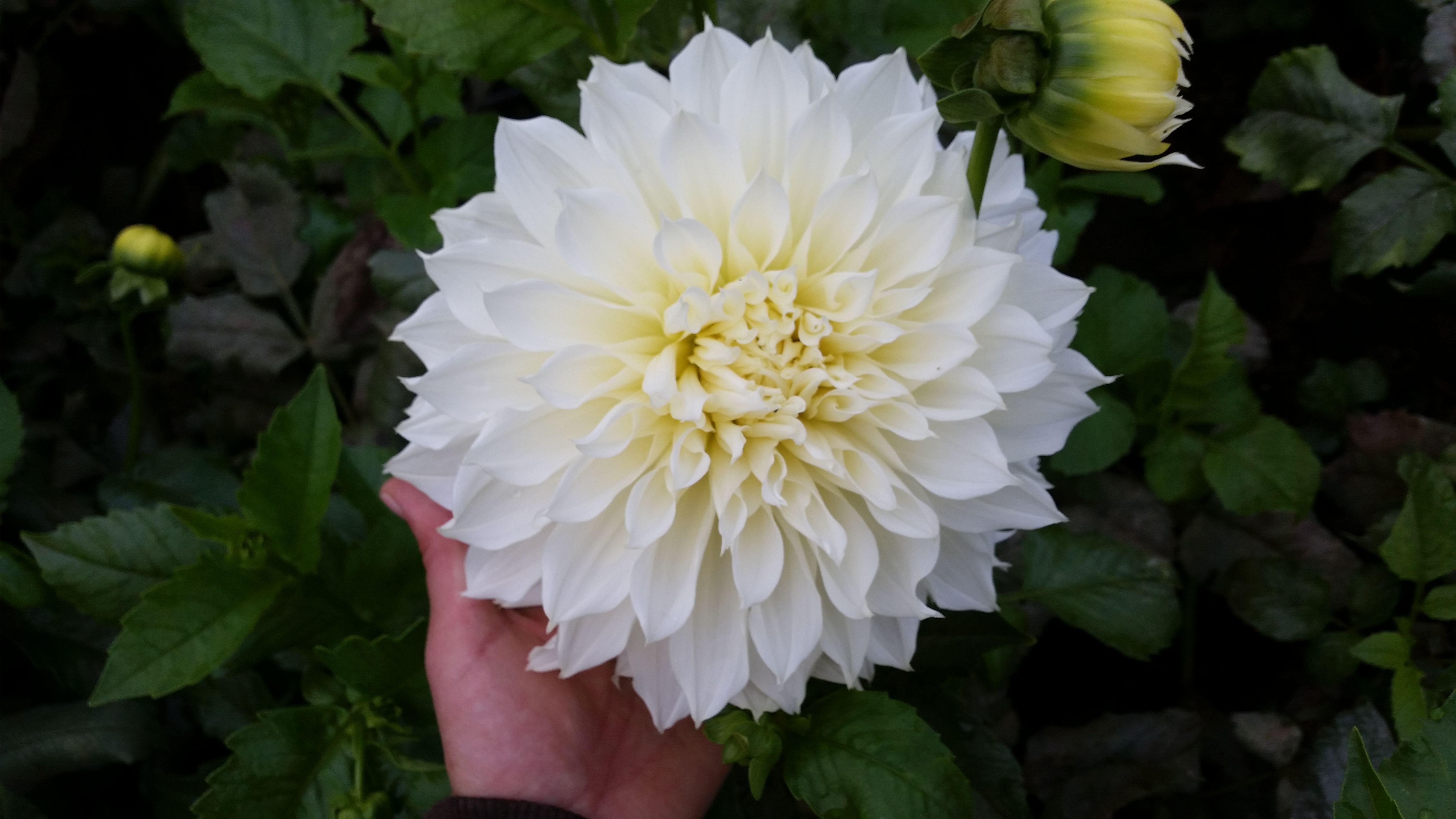 Dahlia Dinnerplate White August Pinterest Dahlia And Flowers