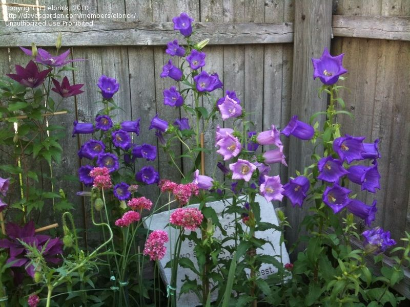 Plantfiles Pictures Canterbury Bells Campanula Medium 20 By Evert Language Of Flowers Amazing Gardens Ornamental Grasses