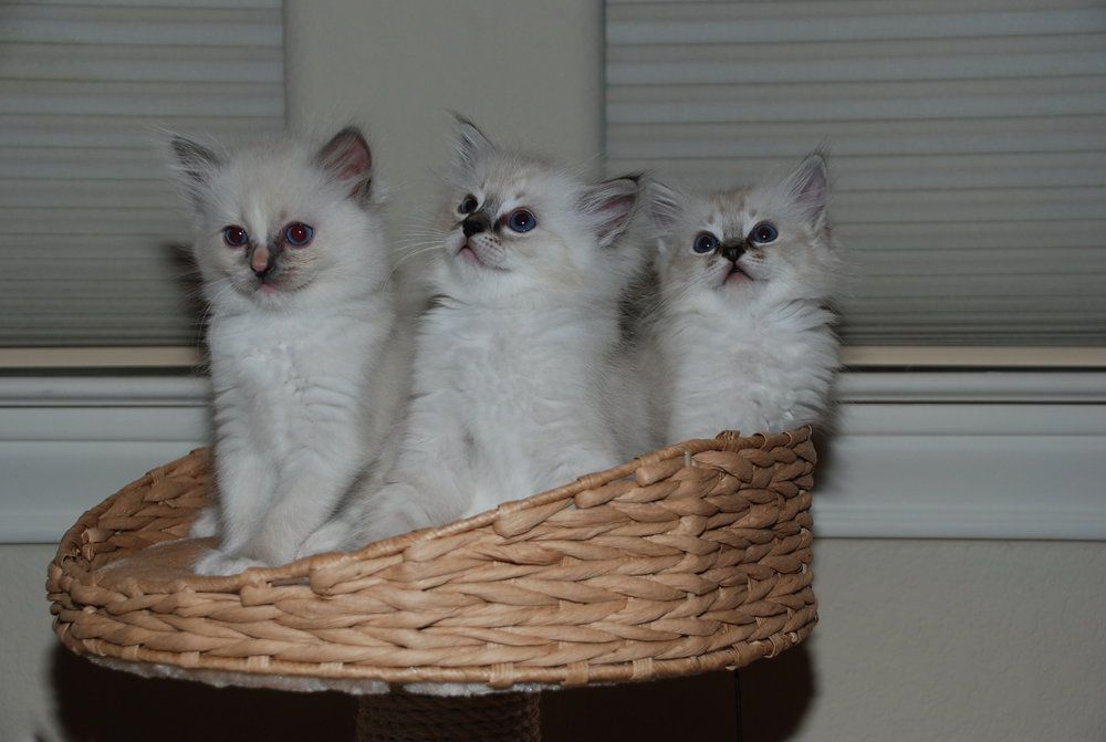 Bee Cave Ragdolls Blog Bee Cave Ragdolls With Images Ragdoll Kitten Ragdoll Cat Cats And Kittens