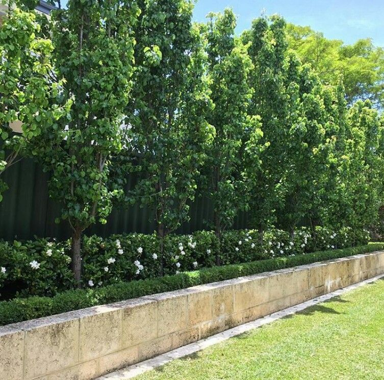 Ornamental Pears Underplanted With Gardenia Florida Large
