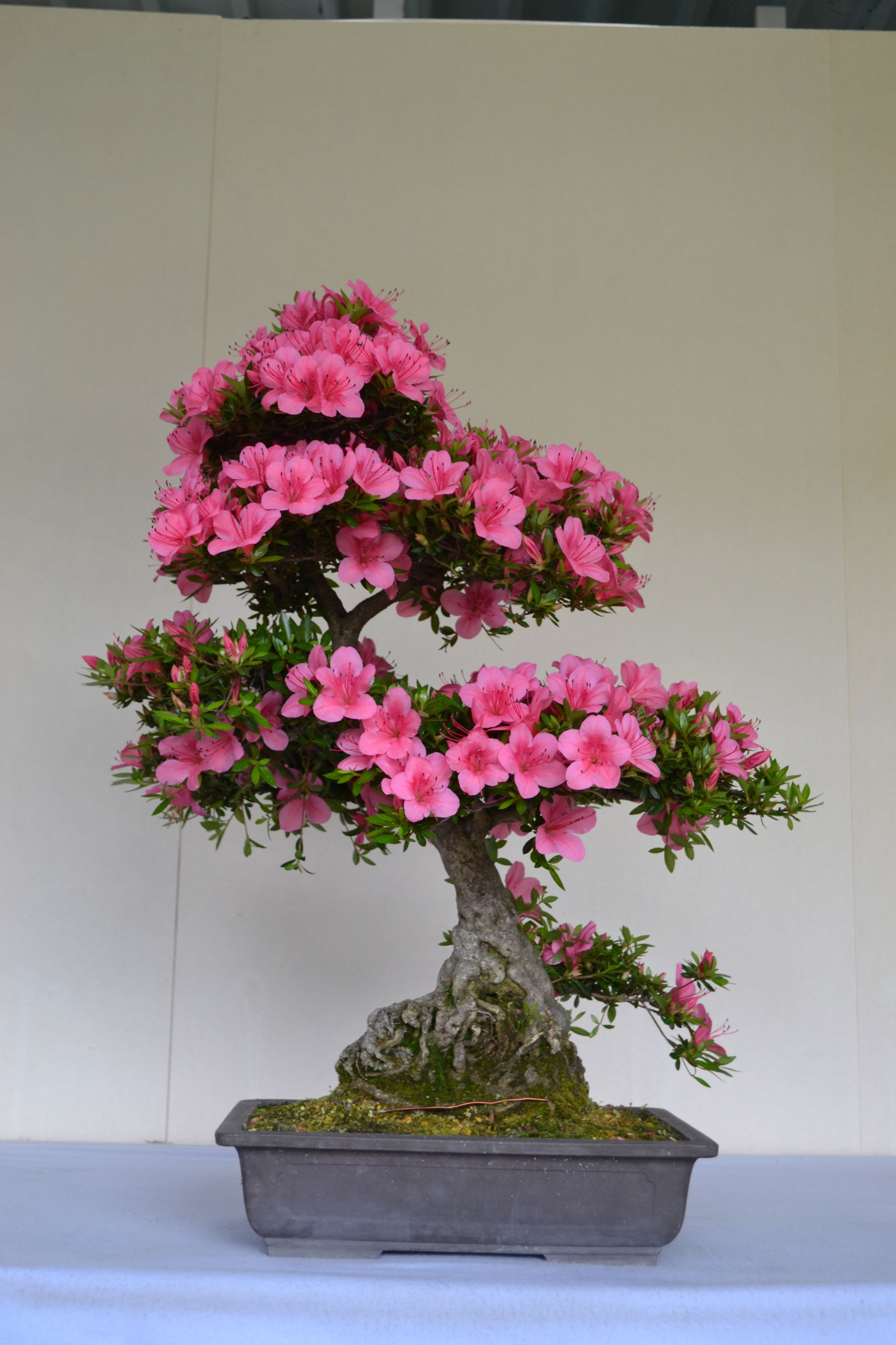 Satsuki Azaleas Bonsai azalea, Bonsai pruning, Bonsai tree