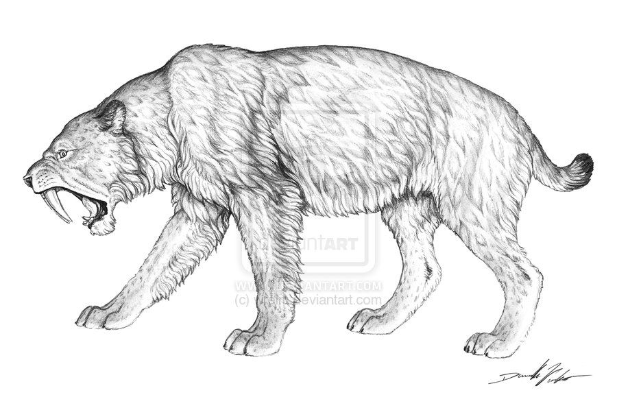 Sabertooth Tiger Drawings Silodon Saber Tooth Cat By Wrelm On