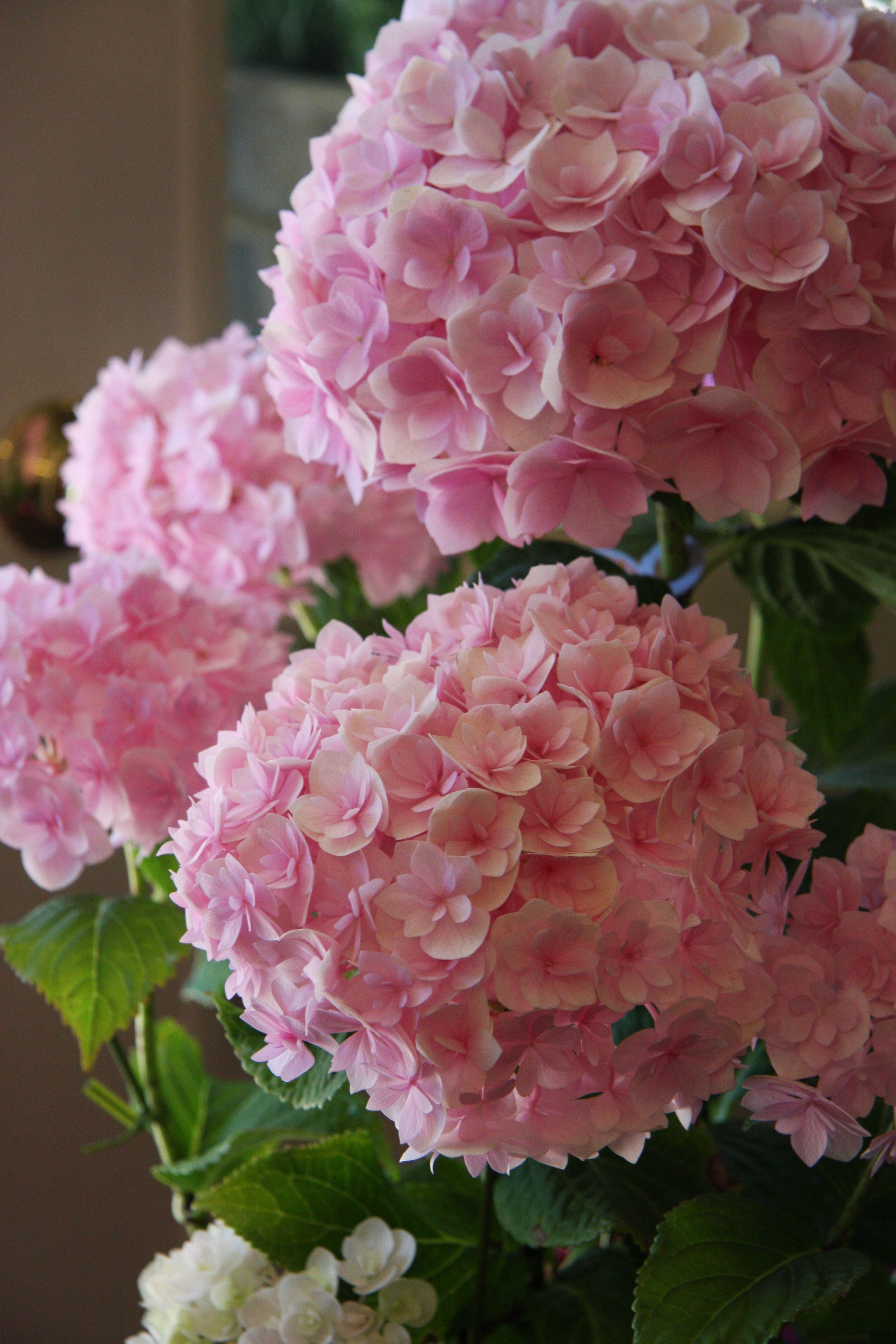 Hydrangea 筑紫の舞 Chikushi No Mai Beautiful Pink Flowers Pink Flowers Limelight Hydrangea