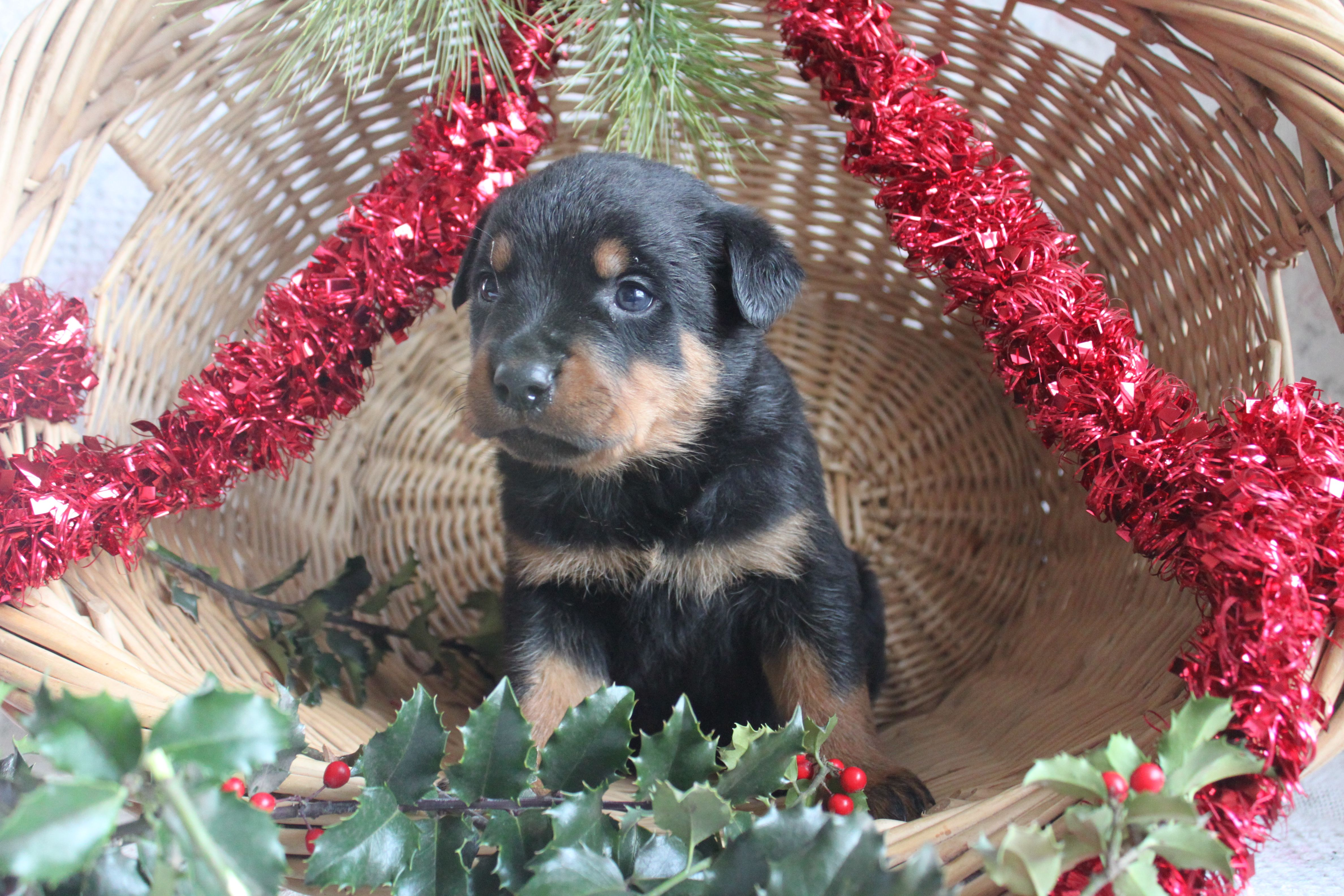 Pin By Clearly Internet On Rottweiler Puppies For Sale