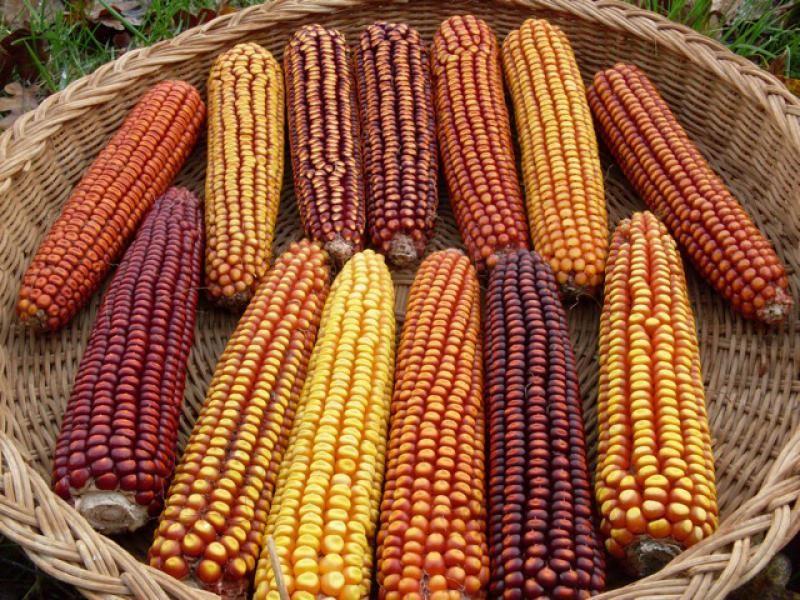 A Rare Mandan Parching Lavender Flour Corn Stunning /& Delicious Corn Variety