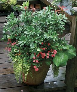 10 plants for year round containers planters plants garden container plants. Black Bedroom Furniture Sets. Home Design Ideas